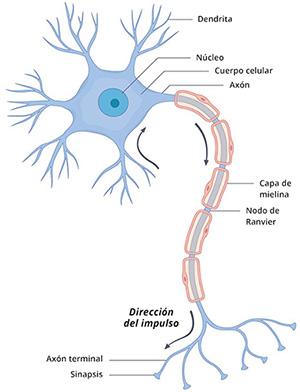 Ilustración de la arquitectura de una neurona, que incluye el cuerpo celular, el núcleo, las dendritas, el axón, la vaina de mielina, las sinapsis y el axón terminal.
